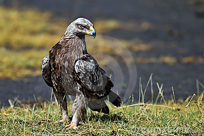 Hawk-eagle sitting on the land