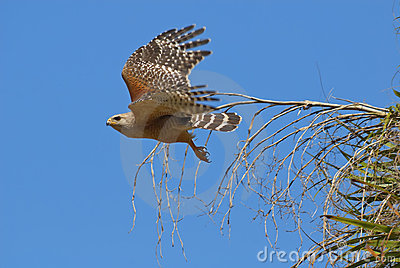 Hawk flying from branch