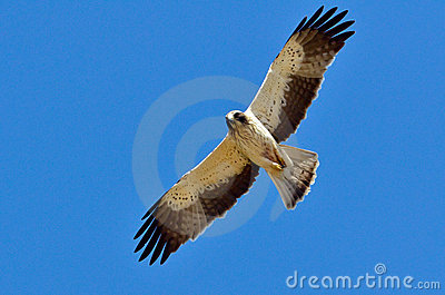 Hawk flying (pandion haliaetus)