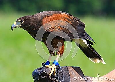 Hawk jest harris
