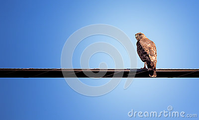 Hawk Sitting on Wire