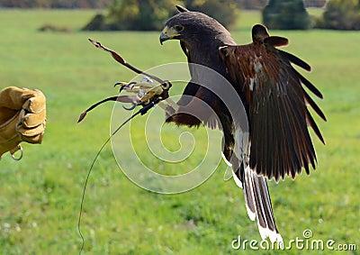 Hawk Talons