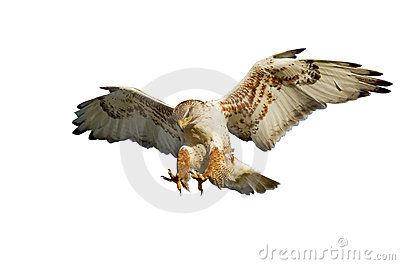 Hawk on white