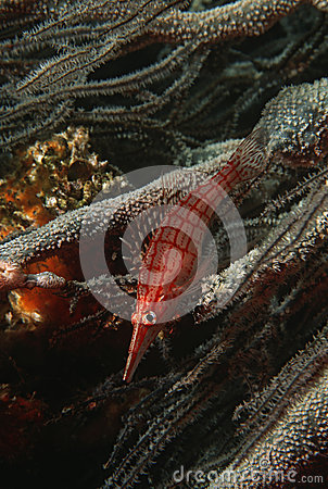 Hawkfish au nez long de l Océan Indien de la Mozambique (typus d Oxycirrhites) sur le plan rapproché de corail noir (d espèces de