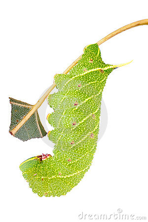 Free Hawkmoth Caterpillar On White Royalty Free Stock Photos - 10487178
