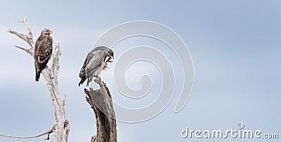 Hawks lurking