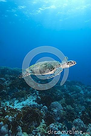 Free Hawksbill Sea Turtle Royalty Free Stock Photos - 12736468