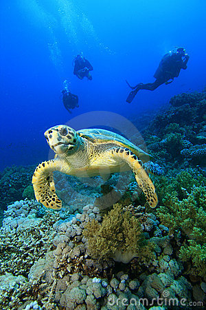 Free Hawksbill Turtle And Divers Royalty Free Stock Image - 8440856