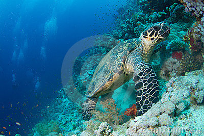 Hawksbill turtle in coral reef