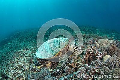 Hawksbill turtle (Eretmochelys imbricata) in reef