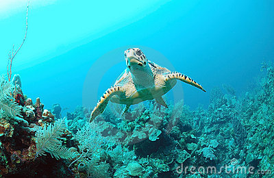 Hawksbill turtle under water