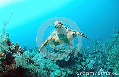 Hawksbill turtle under water