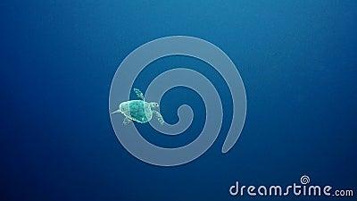 Hawksbillzeeschildpad die in blauw water zwemmen stock video
