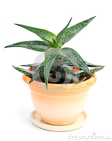 Haworthia in in a pot