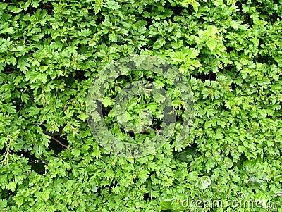 Hawthorn foliage