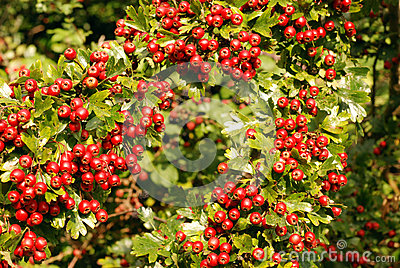 Hawthorn laden with ripe red berries.