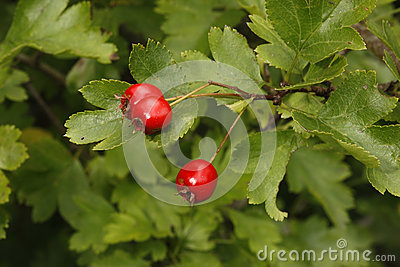 Hawthorn tree or bush, Crataegus monogyna