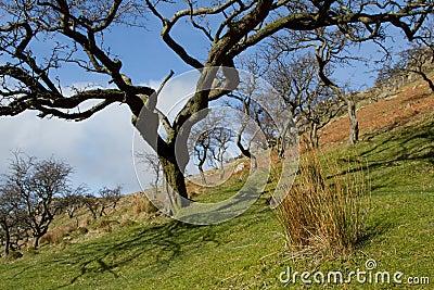 Hawthorn trees.