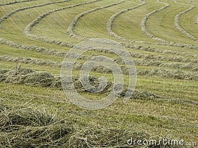 Hay raked into rows