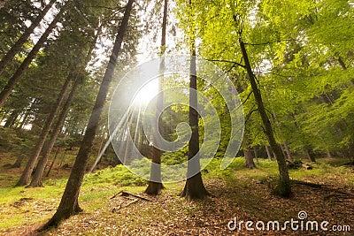 Haya y pinos de la visión inferior