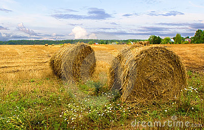 Haystacks after harvest