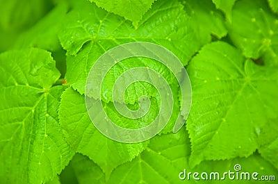 Hazel leafs