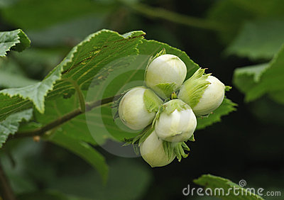 Hazel nuts on tree