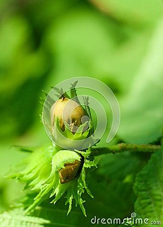 Free Hazelnut Stock Image - 11520511