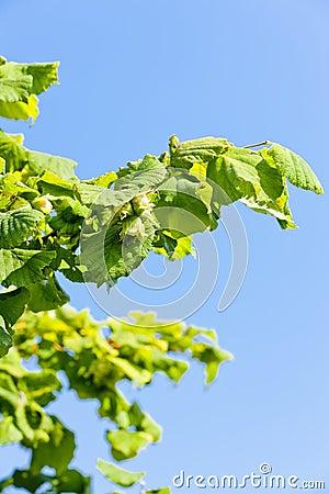 Hazelnut bush