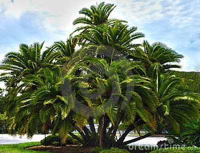 HDR  palm tree cluster
