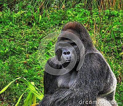 HDR Silverback Gorilla