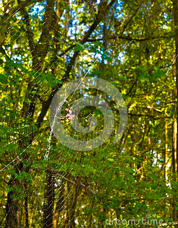 HDR spider on it s web in the forest