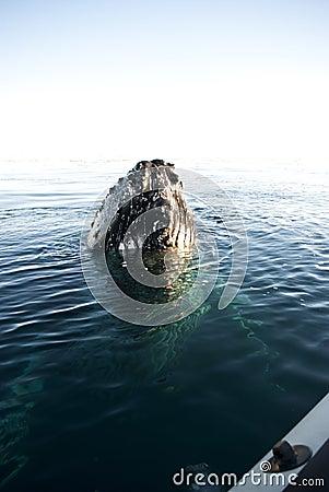 Head-1 de baleia de Humpback.