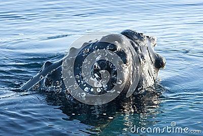 Head-2 de baleia de Humpback.