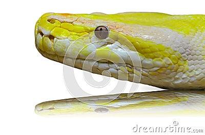 Head albino python.
