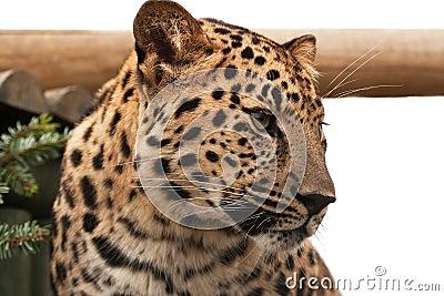 Head of an Amur Leopard