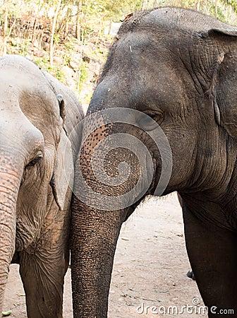 Head of a Asian elephant