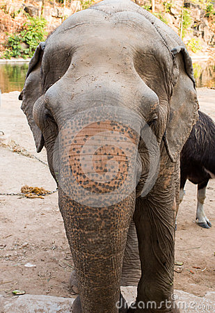 Head of a Asian elephant