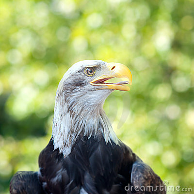 Head a bald eagle
