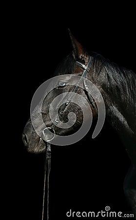 Head of black horse