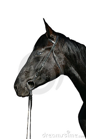 Head of black horse with blue eyes