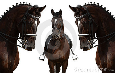 Head of black horses - isolated on white