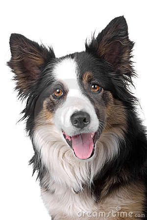 Head of border collie sheepdog