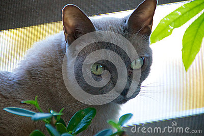 Head of Burmese Cat