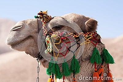 Head of an camel