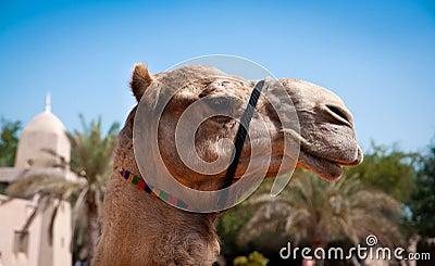 Head of a camel