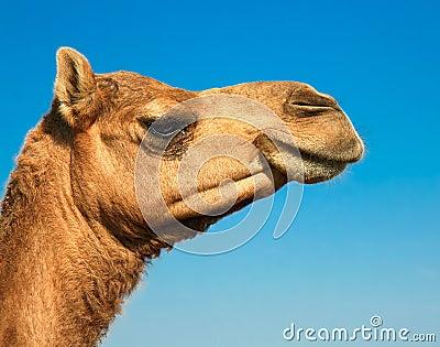 Head of a camel on safari -