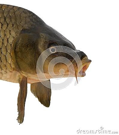 Head carp
