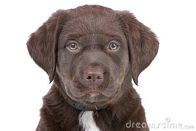 Head of chocolate labrador retriever puppy