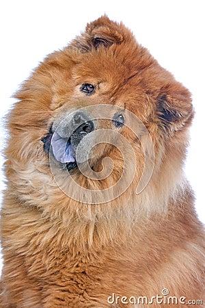 Head of a chow chow dog